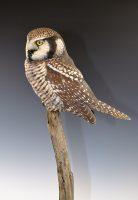 Div-B-Pro-BOS-2nd-Richard-Finch-ValleyMillsTX-Owl